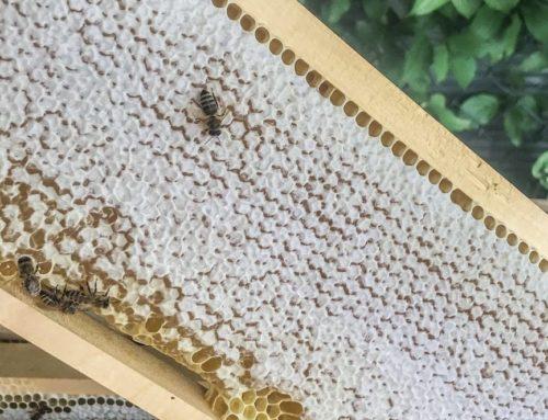 Erste verdeckelte Honigwaben!