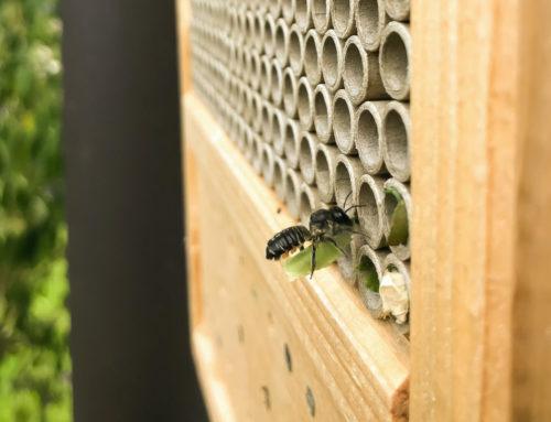 Die Gewöhnliche Blattschneiderbiene in unserer Blühwiese